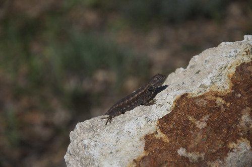 Turns out, we can thank this guy: The Western Fence Lizard.