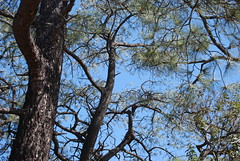 Branches (ComposerLady) Tags: sandiego pines torrey