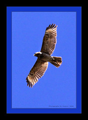 ~~~Red Tailed Hawk~~~ (~~~Gasssman~~~) Tags: explore visualart proudshopper daarklands