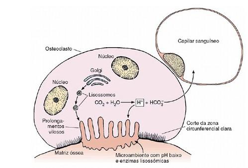 osteoclasto