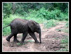 Baby (Roseli Ronchesi) Tags: elephant nature mammal natureza safari krugerpark elefante savanna mamfero manada frica savana paquiderme