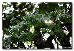 Anche* per te... (superbuzz) Tags: primavera albero colori controluce anche superbuzz
