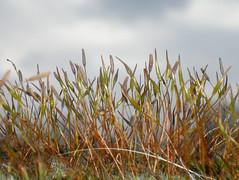 DSCN7991_edited (aorg1961 stalked by Suipixel) Tags: natur pflanze pflanzen polska moose polen moos mech frühling wiosna przyroda roślina rośliny mchy laubmoose sporophyt sporophyten laubmoos sporofit sporofity
