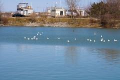 Seagull (kenyaya) Tags: wild lake toronto ontario canada bird beach nature canon rebel wildlife seagull xs brimley 1000d