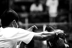 COCKFIGHT (77) (Peter_O'Driscoll) Tags: gambling game spur fight fighter attack culture cockpit clash peter coliseum rooster tradition breed combat gamble betting bet cultural gladiator manok gamecock gambler gallera sabong wager bloodsport cockfighting odriscoll stamina warrier panay gamefowl hahnenkampf cityoflove iloilocity combatdecoqs rinhadegalo bulang  colseum sagupaan g combattimentodigalli bulangan pasampok   riadegallos   sabonero manoktukaan peterodriscoll