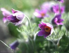 purple + light + bokeh = (_nejire_) Tags: flora purple explore 18 fp frontpage pasqueflower carlzeiss pulsatillavulgaris 30faves 50faves 10faves 40faves 25faves canoneos400d fave10 fave30 245pm fave50 fave25 fave40 carlzeissplanart1450ze 8231504g1140pm 14739654g8am your9345219thfp