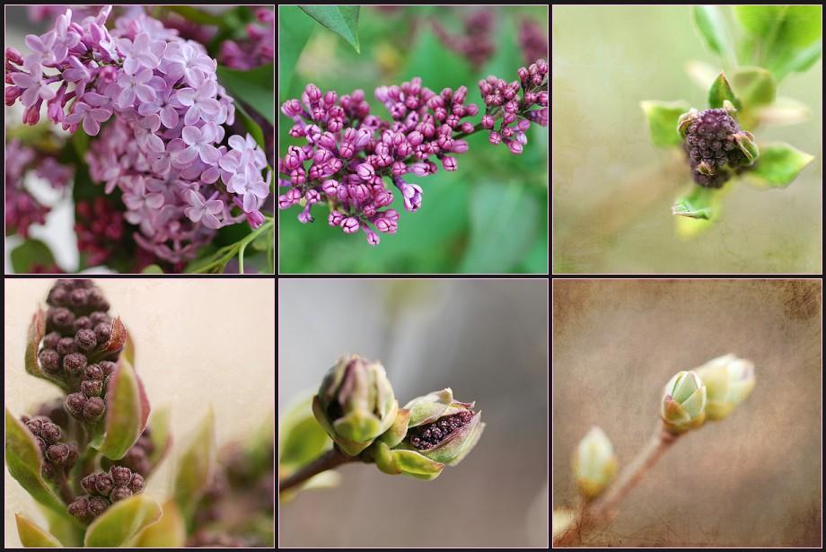Lilac Mosaic