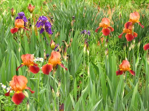 early brown iris