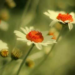A splash of scarlet sundaisy (harold.lloyd) Tags: red white flower green yellow daisies bokeh ss daisy 50mmf14 hss scarletsunday daisery daisyweekisdone notanaster forgotgreen wellmebbe nooooeeeesssssss