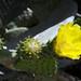 Cacus flower