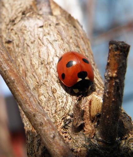 Marihøne / Ladybug