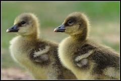 Greylag Goslings 2 (Robert Geldard) Tags: nikon norfolk gosling greylag fakenham d90 otw pensthorpe