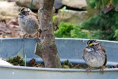 White-Throated Sparrows Await Handout (BeautifulRust) Tags: winter bird birds yard spring backyard 7 april migratory sparrows habitat zone songbird songbirds beautifulrust zonotrichia whitethroated albicollis