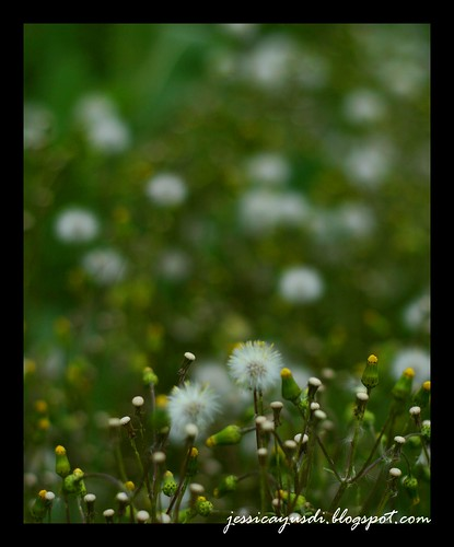 rapeseed7