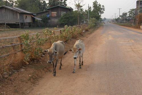 006.清晨悠閒散步的瘦牛