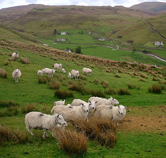 For those who love sheep (Bn) Tags: wool scotland isleofskye harrypotter highlander lambs topf100 braveheart hebrides mountainlandscape scottishhighlands hebriden 100faves abigfave cutesheeps moresheepsthanpeople commonsheeps adorablesheeps schapeninschotland forthosewholovessheep onescottishblackface