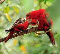 I Feel Good! (julesnene) Tags: red bird nature canon singapore lory jurongbirdpark loryloft 50d colorfulbird canoneos50d julesnene juliasumangil