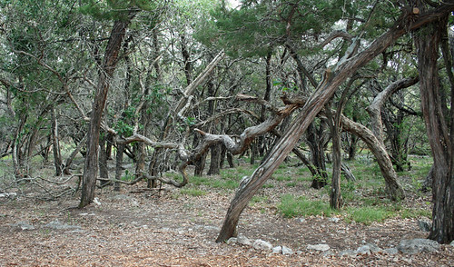 twisted cedars
