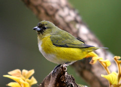 Fifi-verdadeiro-fmea, Purple-throated Euphonia - female -(Euphonia chlorotica) (claudio.marcio2) Tags: bird nature searchthebest wildlife natureza pssaro aves inspire birdwatching soe breathtaking oiseaux birdwatcher supershot natureplus mywinners anawesomeshot impressedbeauty ultimateshot photosandcalendar citritgroup theunforgettablepictures photostosmileabout eperkeaward naturewatcher concordians theworldsbestnaturewildlifeandmacrophotography everydayissunday theperfectphotographer avianphotograph natureislovely goldstaraward natureselegantshots spiritofphotography feathersbeaksbirds naturespotofgold worldnaturewildlifecloseup photographersgonewild vosplusbellesphotos thewonderfulworldofbirds naturegreenstar naturescreations ~newenvyofflickr~ artofimages enarmniaconlanaturaleza