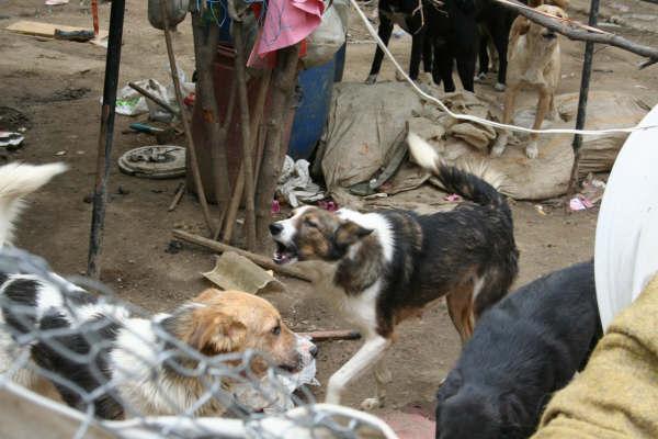 Arnavutköyde Bir evden 64 köpek