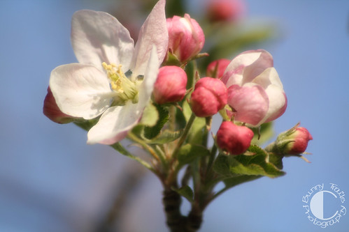 119-apple blossoms1