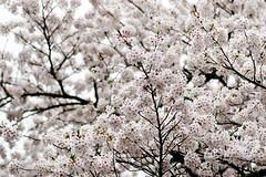 Sakura @   (ddsnet) Tags: plant flower japan tokyo sony  cherryblossom  sakura to nippon   nihon hanami 900  backpackers   flower          tky   cherry blossom tkyto  japan   900     flowerinjapan to tky