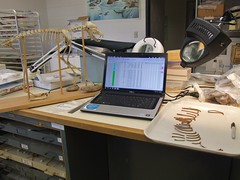 ACZ Lab (Travis S.) Tags: light scale alaska computer skeleton lab desk magnifyingglass anchorage dell fox ribs bones tray comparison articulated uaa redfox vulpesvulpes sharpee universityofalaskaanchorage acz alaskaconsortiumofzooarchaeologists univeristyofalaska foxribs