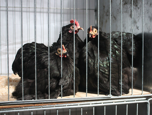 Three black hens
