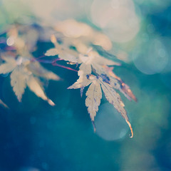 Autumn (borealnz) Tags: autumn fall texture leaves square maple bokeh seasonal japanesemaple acer bsquare flypapertextures borealnz