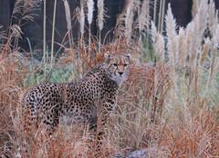 Cheetah (Jeffdalt) Tags: animal zoo cheshire wildlife chseter caughall
