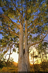 Gum Tree (Christopher Chan) Tags: tree sunrise canon gum australia nsw newsouthwales eucalyptus 1022mm hdr huntervalley barringtontops 30d hunterregion snaptweet