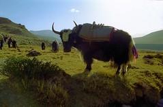 Yak makes trekking easier (reurinkjan) Tags: 2002 yak nikon tibet everest dri tingri jomolangma lammala janreurink བོད། བོད་ལྗོངས།