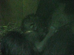 Video: Mandara, her newborn gorilla baby and son Kojo!  - 153 (RoxandaBear) Tags: video gorilla birth january siblings newborn kojo 2009 nursing mandara momandbaby 11009 apehouse