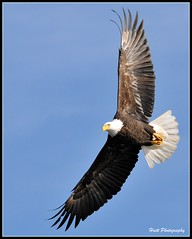 Windsong... (ragtops2000 (away for awhile)) Tags: blue winter wild sunlight ice nature water beautiful fishing nikon colorful flight baldeagle free explore raptor 1001nights wingspan picnik migrating d300 souring specanimal sigma150500 mygearandmepremium mygearandmebronze