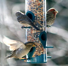 Coming to the Feeder (mightyquinninwky) Tags: housefinches housefinch finches finch femalehousefinch malehousefinch bird birds ave aves avianphotography bokeh dof depthoffield rural smalltown country countryside farm farmland agriculturalcommunity edgeoftown ruralkentucky smalltownkentucky nativekentuckybirds nativekentuckynature backyardnature backyardbirds backyard nativekentuckyfauna fauna morganfieldkentucky unioncountykentucky westernkentucky kentucky thebluegrass thecommonwealthofkentucky birdfeeder birdfeed seed birdseed deck feeder perched perch inmotion flying wings beak feathers caughtintheact landing inflight seedmix picnik purplefinch femalepurplefinch geo:lat=37693168 geo:lon=87905501 geotagged