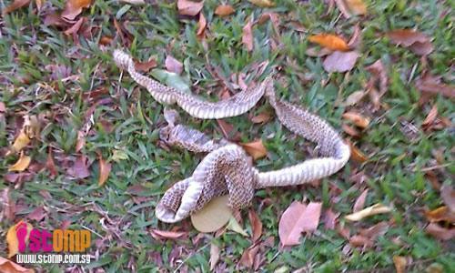 Beware! Snake skin spotted in Ang Mo Kio