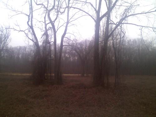 Kudzu Cottonwoods