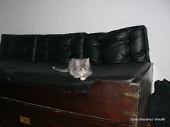 Renata Hortensia (SOF76) Tags: pet cat kitten sweet gato gata renata mascota cutecat gatita gatito hortensia sweetbaby gatalinda gatagris lindagatita renatahortensia sof76 gatagrisyblanco