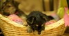 pups (digitalshay) Tags: dog dogs yorkie pups puppies yorkies yorkshireterrier d3 babydogs nikond3