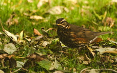 Redwing and Leaves (axelkr) Tags: wallpaper bird leaves iceland widescreen 1920x1200 1610 1440x900 1680x1050 1024x640 1280x800 2048x1280