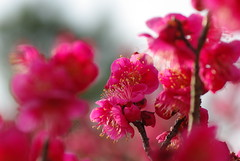 Pink flowers (Ume, Japanese apricot, Japanese plum) (yancunyong) Tags: plant flower pentax plum pinkflower apricot ume japaneseplum japaneseapricot tamron272e k200d