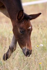 Luna (neulands) Tags: horses cheval luna pferde laluna 3weeks filly foal fohlen neulandstud neulandlaluna