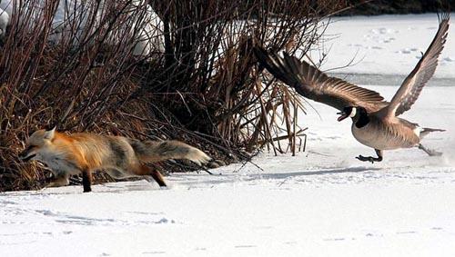 Goose chasing fox