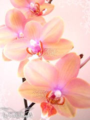 Orchidee ( ColdAngel6 ) Tags: flowers orchid flower color colour macro cute green nature photography colours orchids blossom natur blossoms pflanze rosa blumen lovely orchidee blume blte farbe farben blten colourfull allinpink coldangel6