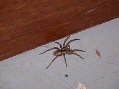 spider in my basement winkleroid tags brown spider big basement
