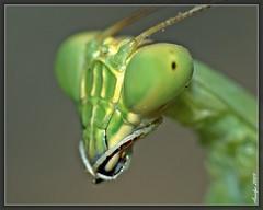 My best angle (Green Mantis ) (Avielpa) Tags: macro argentina closeup 5 bugs mendoza soe photoqueen greenmantis abigfave platinumphoto overtheexcellence macrolife flickrestrellas avielpa alemdagqualityonlyclub nikonflickraward nikonflickraward50mostinteresting nikonflickrawardgold worldclassnaturephoto flickrenvythebesttm peregrino27macro