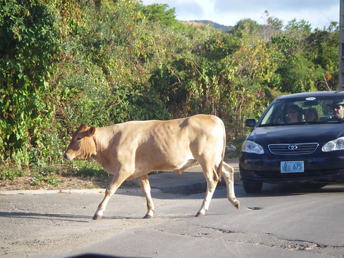 this cow let out an annoyed moo after leaving the road