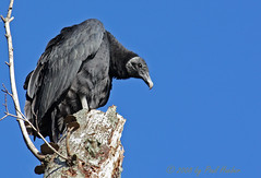 Black Vulture (Coragyps atratus) (Paul Hueber) Tags: bird nature birds canon fun funny florida wildlife humor aves humour ave handheld perched ha vulture staring blackvulture coragypsatratus avian seminolecounty leering altamontesprings centralflorida blvu lakelotus ididntlikethewayhewaslookingatme lakelotuspark musicarver butireallydolikevultures