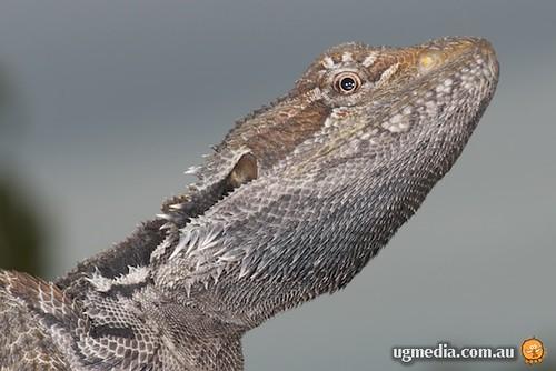 Eastern bearded dragon (Pogona barbata)