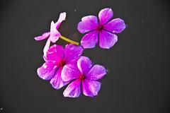 Tiny purple Flower (mhels_13) Tags: pink flower reflection water composition interestingness philippines pinkflower freshflower darkgrey waterbackground pinoykodakero pindotpinoy imagoismthursday mhels13